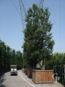 Quercus Ilex Extra 6,00