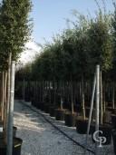 Quercus Ilex Std 18 20cm