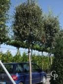 Quercus Ilex Std 18-20cm+