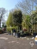 Quercus Ilex Std 35cm