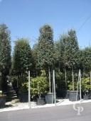 Quercus Ilex Std Cone