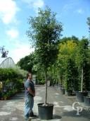 Quercus Ilex Std