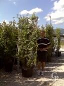 Quercus Ilex Clt 60 Spal