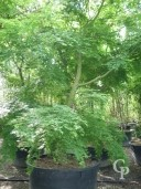 Acer Palmatum 3,50