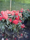 Large Rhododendron