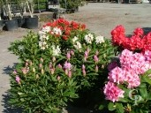 Rhododendron   70