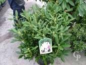 Rhododendron  'Daniel Gelin'   70cm  15l