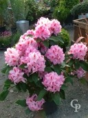 Rhododendron  'Furnivals Daughter'  70cm  15l