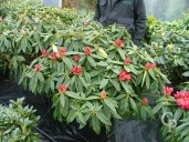 Rhododendron 'Melville'  70cm   15l