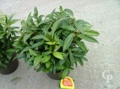 Rhododendron 5l