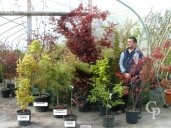 Acer Palmatum Selection