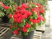 Rhododendron 90l