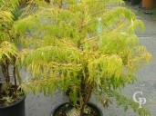 Rhus Typ 'Tiger Eyes'   10l
