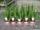 Rosemarinus Officinalis   1 5l