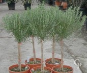 Rosemarinus Officinalis  Mini-Std