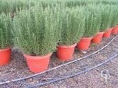 Rosmarinus Officinalis 30
