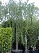 Salix  Bab  Aurea