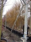 Salix 35+