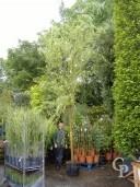 Salix Baby 'Aurea'   18-20