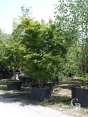 Acer Palmatum Extra