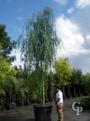 Salix Babylonica 'Aurea'   20-25