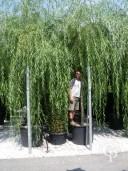 Salix Babylonica 'Aurea'   25-30  240l