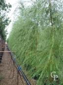 Salix Babylonica 'Aurea'  Feathered  14-16  90l