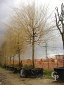 Salix Babylonica 35-40
