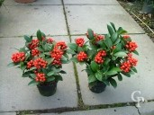 Skimmia Jap ' Olympic Flame' 1 5l