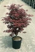 Acer Palmatum Fireglow (CLt 18)