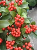 Skimmia Jap 'Olympic Flame'