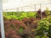 Acer Palmatum Group