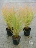 Stipa Arundinacea 2l