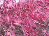 Acer Palm Leaf Colour