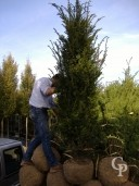 Taxus 2m Rb