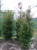 Taxus Bacatta 1,00 1,25 Rb
