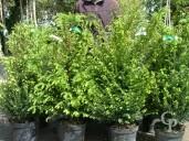 Taxus Bacatta 10l