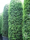 Taxus Bacatta 4,00 Extra