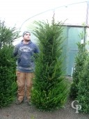 Taxus Baccata   Rb