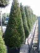 Taxus Baccata  Cone 2,50-3,00