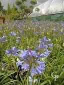 Agapanthus 'Blue Storm' 10L
