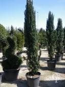Taxus Baccata 'Fastigiata'  2,00