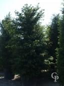 Taxus Baccata 110l