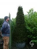 Taxus Baccata Cone 2,00