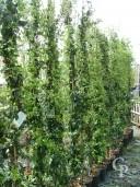 Rhyncospermum Jasminoides   2,00  10l