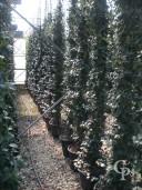 Rhyncospermum Jasminoides  3,00   50l