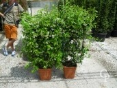 Rhyncospermum Jasminoides  Espalier LV14