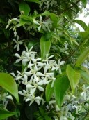 Rhyncospermum Jasminoides  Flower