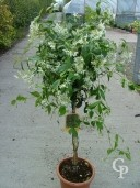 Rhyncospermum Jasminoides  Mini-Std   LV9
