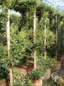 Rhyncospermum Jasminoides